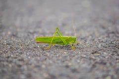 绿色蚂蚱在德国 库存照片