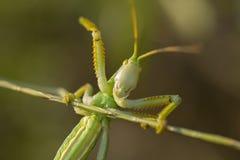 绿色蚂蚱宏观incect夏天仔细的审视 图库摄影