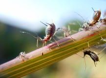 绿色蚜虫 免版税库存图片