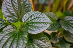 绿色蜡状的叶子特写镜头细节 免版税库存图片