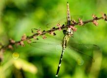 绿色蜻蜓吃的一条黄色龙 图库摄影