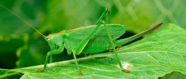 绿色蝗虫是一只大蚂蚱 免版税库存图片