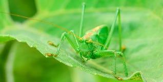 绿色蝗虫是一只大蚂蚱 图库摄影