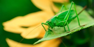 绿色蝗虫是一只大蚂蚱 免版税库存照片