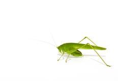 绿色蝗虫 免版税图库摄影