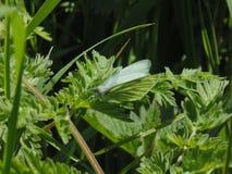 绿色蝴蝶绿色 免版税库存照片