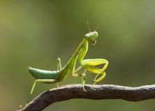 绿色螳螂 免版税库存照片