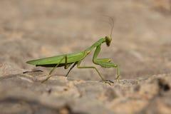 绿色螳螂 库存图片