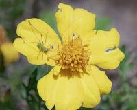 绿色螽斯若虫宏指令在一朵黄色花的 免版税库存图片