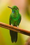 绿色被加冠的精采 免版税库存照片