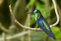 绿色被加冠的Woodnymph蜂鸟 免版税图库摄影