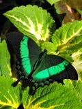 绿色被结合的Swallowtail蝴蝶休息在锦紫苏 免版税库存照片