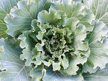 绿色装饰圆白菜头与卷曲的叶子特写镜头的 库存照片