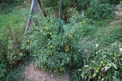 绿色西红柿在我的有机庭院里 库存照片