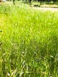 绿色象草的领域在橡木树丛公墓 库存图片