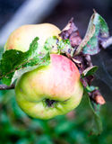 绿色豪华的成熟苹果红色长大在树关闭 免版税库存图片