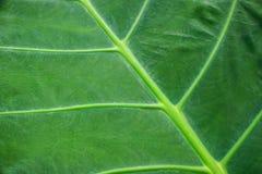 绿色贝母叶子纹理 图库摄影