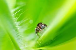 绿色跳的本质蜘蛛 免版税图库摄影