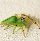 绿色跳的蜘蛛 免版税库存图片