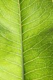 绿色辣根叶子 库存图片