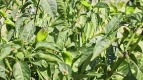 绿色辣椒在庭院里 影视素材