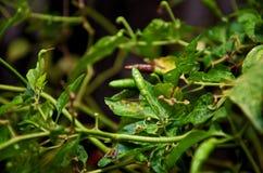 绿色辣椒padi在庭院里 免版税库存图片