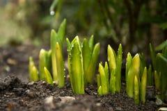 绿色郁金香在春天射击 免版税库存图片