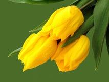 绿色郁金香黄色 库存图片