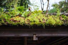 绿色野生新鲜的自然生命植物,青苔,地衣,生长在庭院眺望台背景木茅屋顶的草  豆杆 免版税库存图片