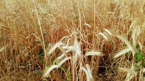 绿色野生植物在成熟麦子词根增长  影视素材