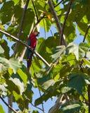 绿色金刚鹦鹉强大红色 图库摄影