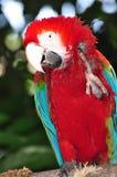 绿色金刚鹦鹉红色 免版税图库摄影