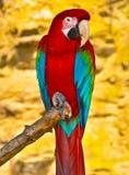 绿色金刚鹦鹉红色 免版税库存照片