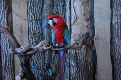 绿色金刚鹦鹉红色 免版税库存图片