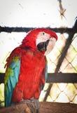 绿色金刚鹦鹉翼 库存图片