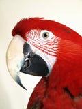 绿色金刚鹦鹉翼 免版税库存图片