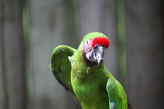绿色金刚鹦鹉 库存照片