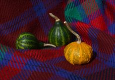 绿色金瓜用在红色格子花呢披肩的橙色有疣的装饰金瓜 免版税库存图片