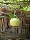 绿色金瓜 免版税库存图片