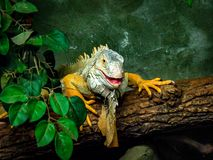 绿色金黄鬣鳞蜥 库存图片