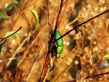 绿色金龟子甲虫和草 免版税库存照片