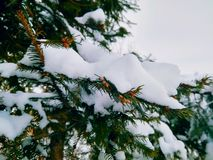 绿色针分支与在白色的雪 免版税库存图片
