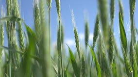 绿色钉牢麦子 股票视频