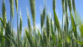 绿色钉牢麦子 库存照片