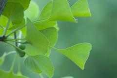 绿色银杏树叶子 库存图片