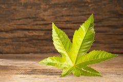 绿色铸工叶子-草本种属的蓖麻-文本空间 库存图片