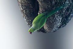 绿色长尾小鹦鹉 免版税库存图片