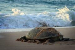 绿色阿曼乌龟 免版税库存照片