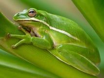 绿色雨蛙特写镜头 图库摄影