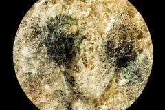 绿色霉菌模子,看法传播在被损坏的食品的通过显微镜 免版税库存图片